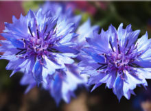 blaue-kornblume-kopf