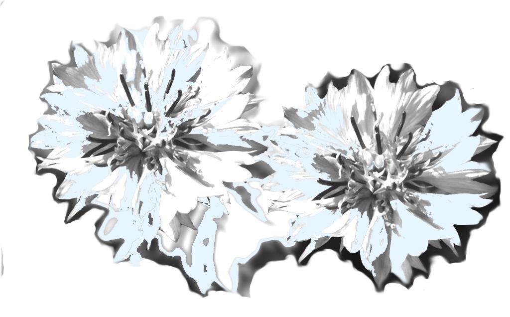 blaue-kornblume-grau-blau-1024x636